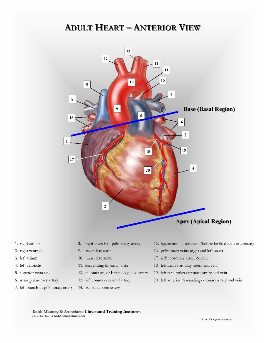 Adult Heart | Anterior View