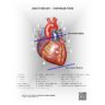 Heart Anatomy- Surface View