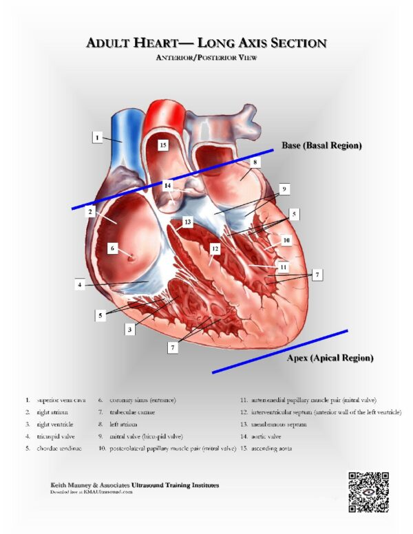 Adult Heart- Long-Axis Sectioned View