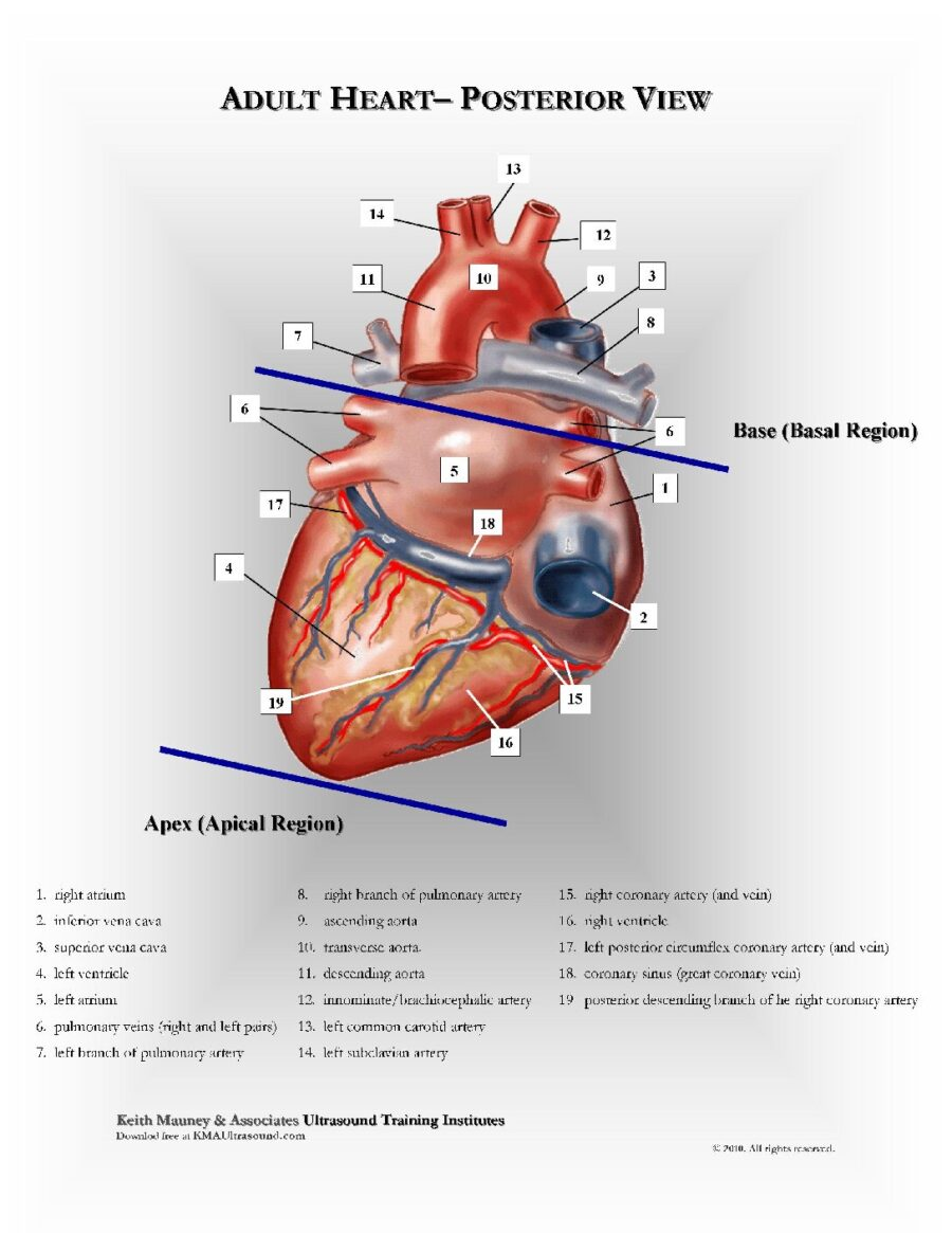 Adult Heart-Posterior View