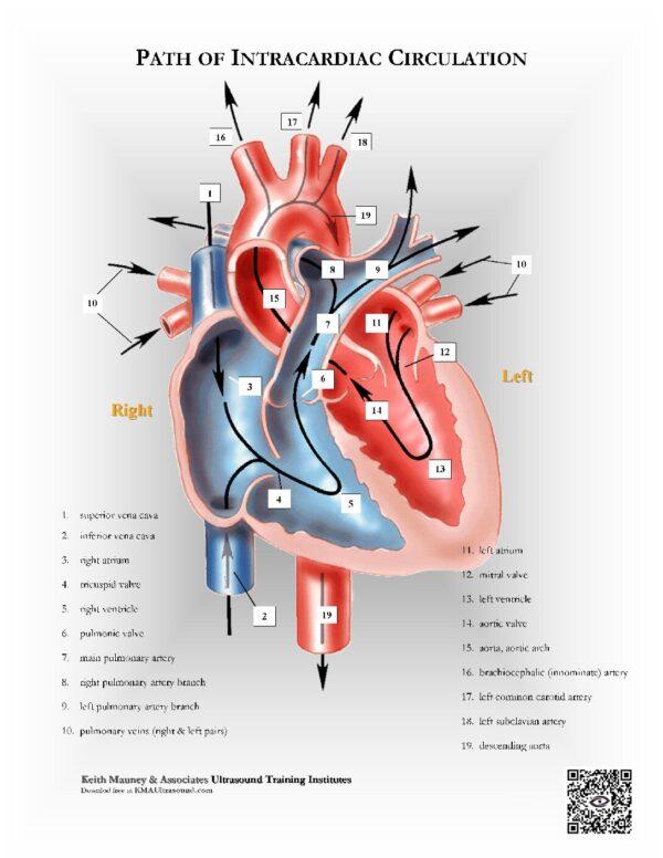 Heart- Path of Intracardiac Flow