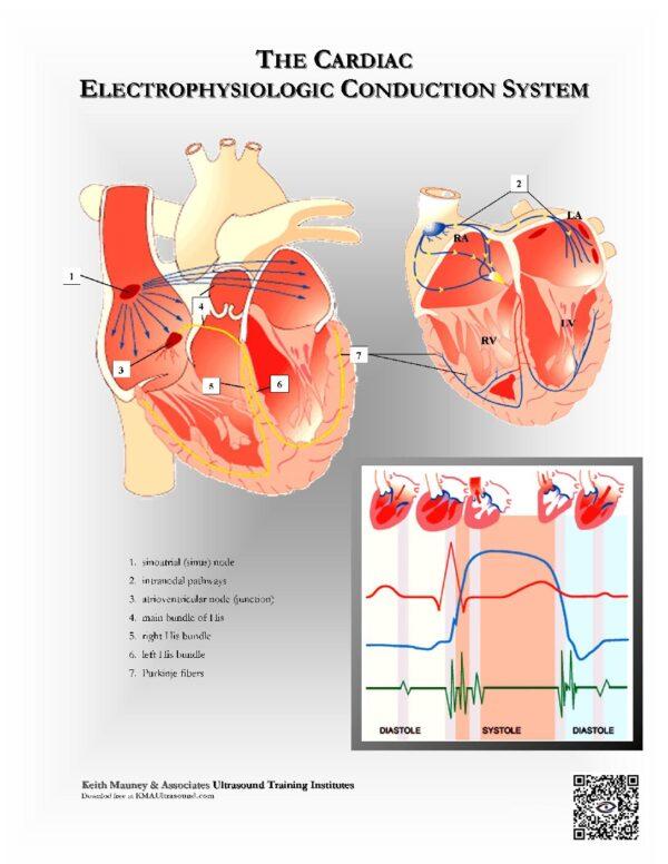 Cardiac EKG Conduction System