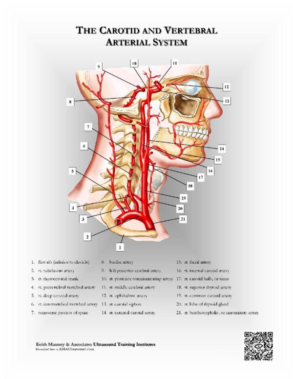 The Carotid and Vertebral Arterial Vascular System