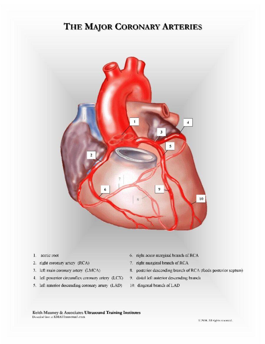The Major Coronary Arteries